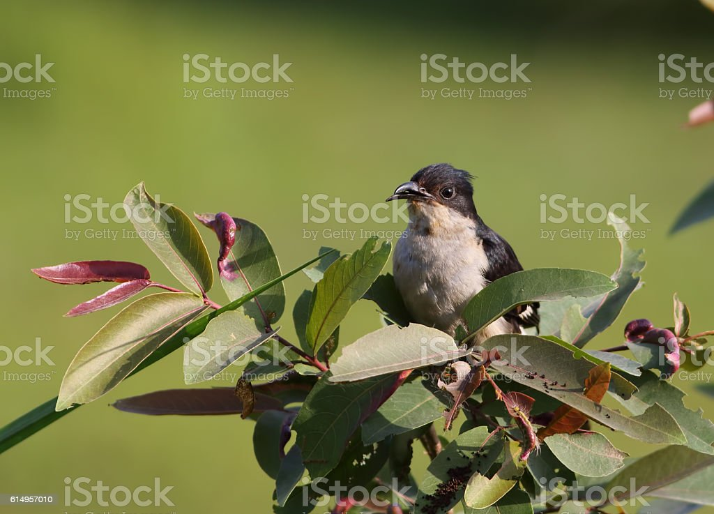 Jacobin cuckoo (Clamator jacobinus) stock photo