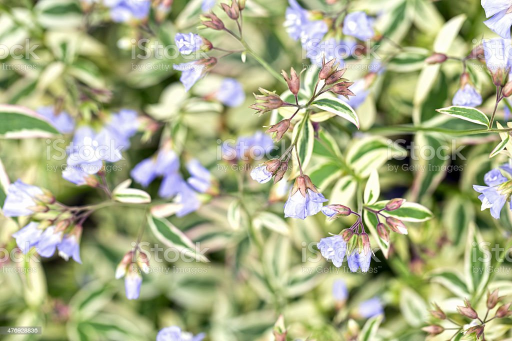 Jacob's Ladder Polemonium Flowers stock photo