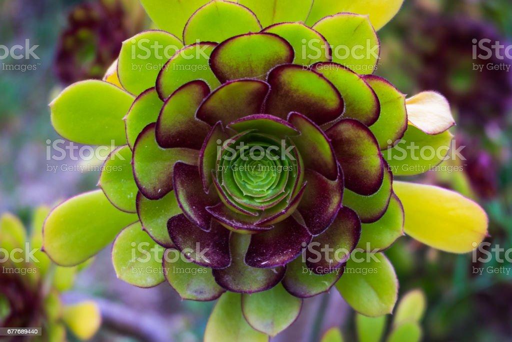 Jade Plant stock photo