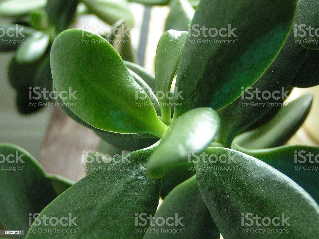 jade plant up close royalty-free stock photo