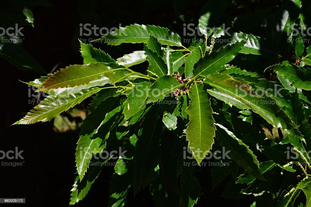 Jagged skinny leaves of sweet chestnut Castanea Sativa on bright june noon sunshine stock photo