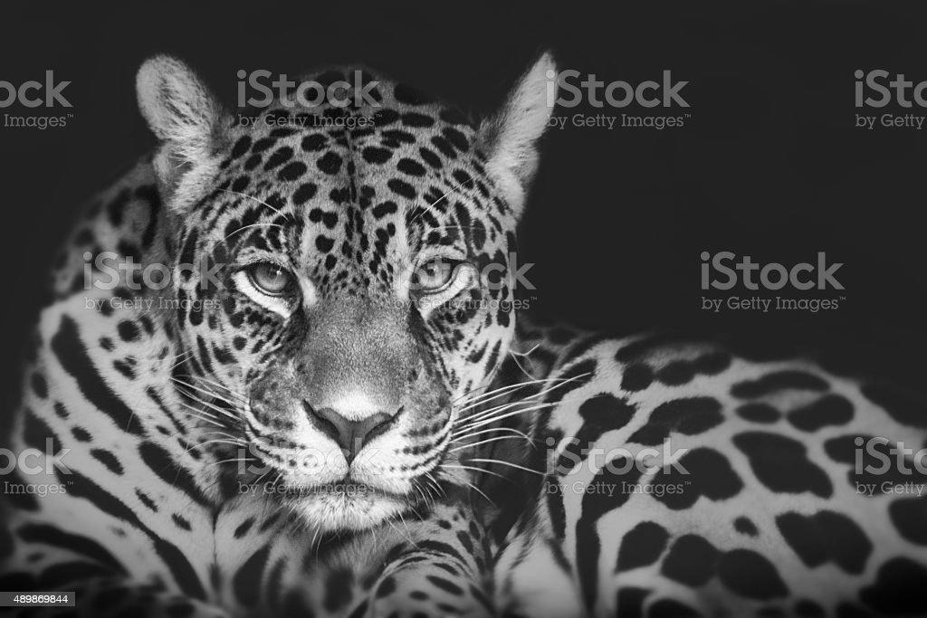 Jaguar 1 stock photo