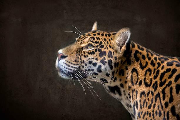 Jaguar 2 Jaguar Portrait Profil jaguar cat stock pictures, royalty-free photos & images