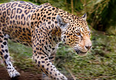 Jaguar approaching, hunting - Pantanal wetlands, Brazil