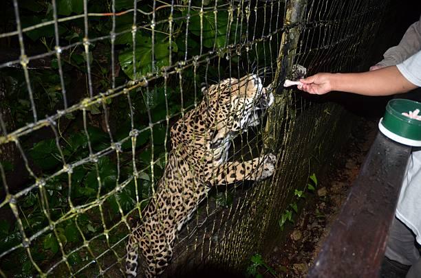 jaguar nourri et touché sur la patte - cage animal nuit photos et images de collection
