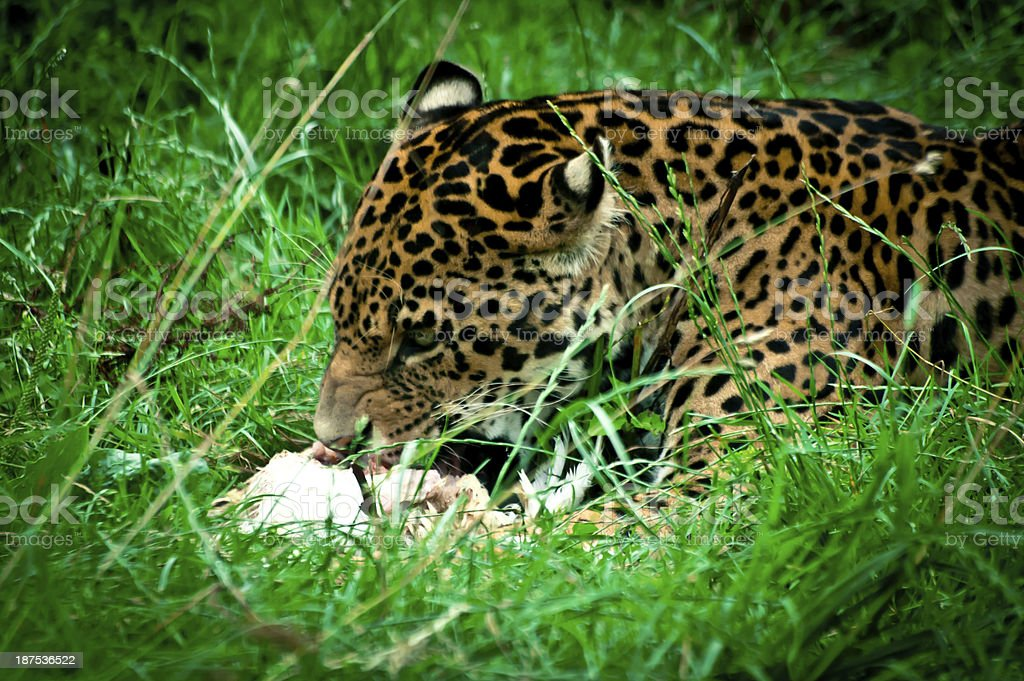 What Jaguars Eat Pictures, Images And Stock Photos