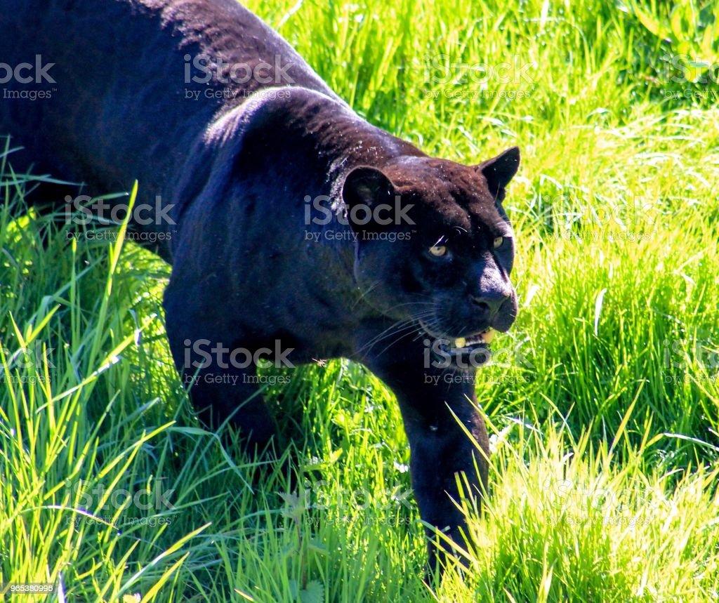 捷豹遭遇 - 免版稅在野外的野生動物圖庫照片