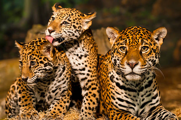Jaguar Family Two young Jaguar Cubs with their mother cub stock pictures, royalty-free photos & images
