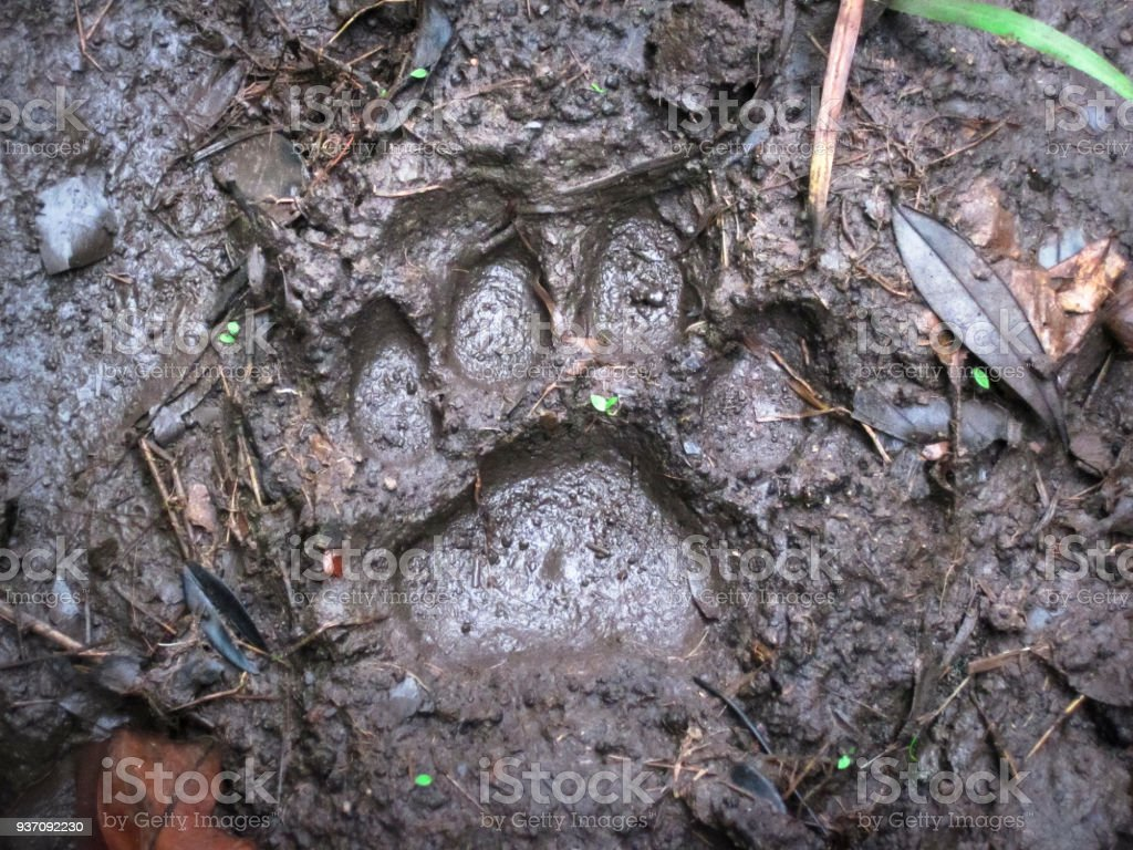 Jaguar Footprint in the Mud in Belize stock photo