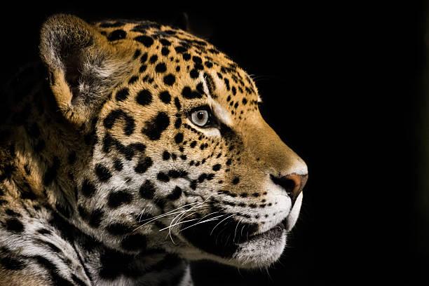 Jaguar III stock photo