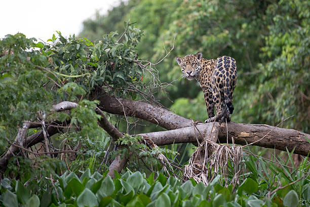 Jaguar in Brazilian Pantanal photo shot in Brazilian Pantanal amazon river stock pictures, royalty-free photos & images