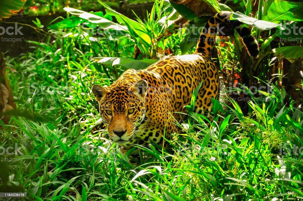 Jaguar in the amazon jungle An adult jaguar in the amazon jungle Amazon Rainforest Stock Photo