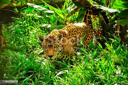 An adult jaguar in the amazon jungle