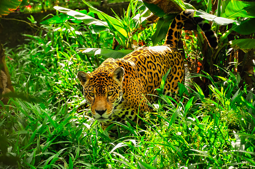 Jaguar In The Amazon Jungle Stock Photo - Download Image Now