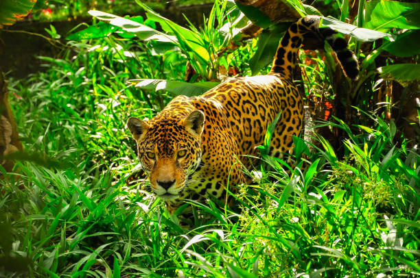 jaguar in the amazon jungle - big cat stock pictures, royalty-free photos & images