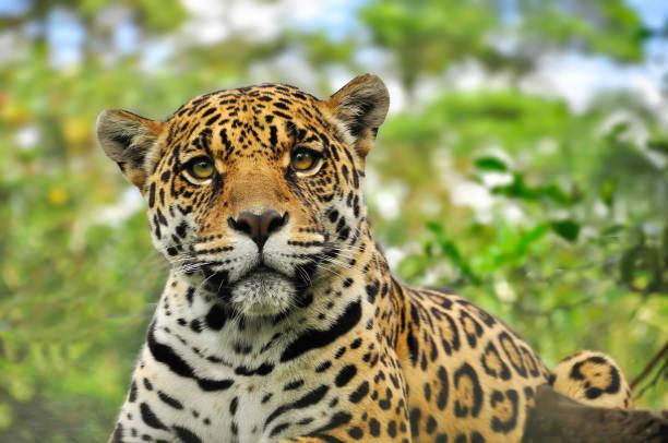 Jaguar in the amazon jungle stock photo