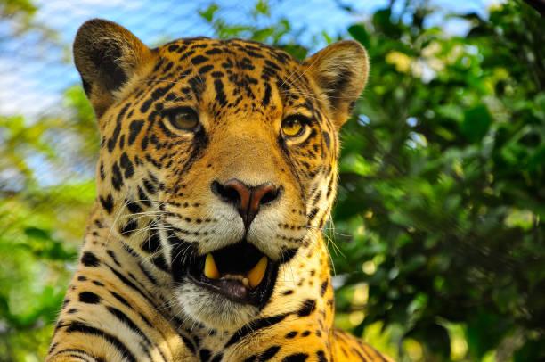 Best Jaguar Tropical Rainforest Carnivore Animal Stock ...