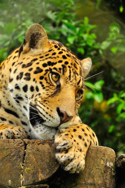 A jaguar in the amazon jungle stock photo