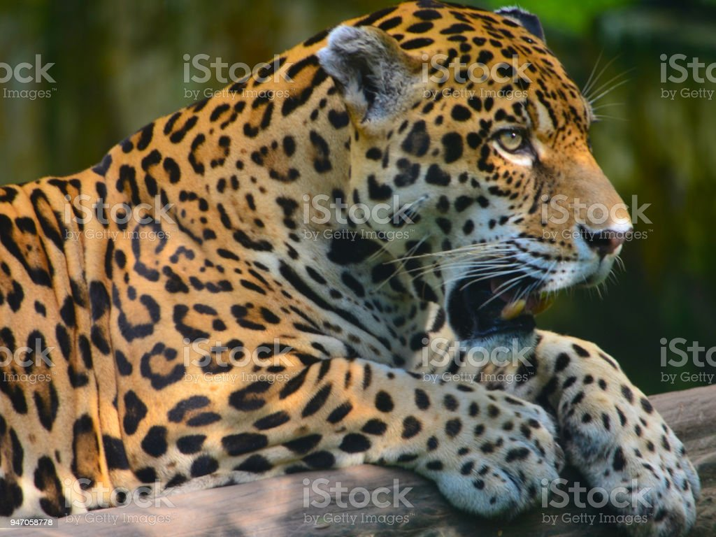 A Jaguar In The Amazon Rain Forest Iquitos Peru Stock Photo & More