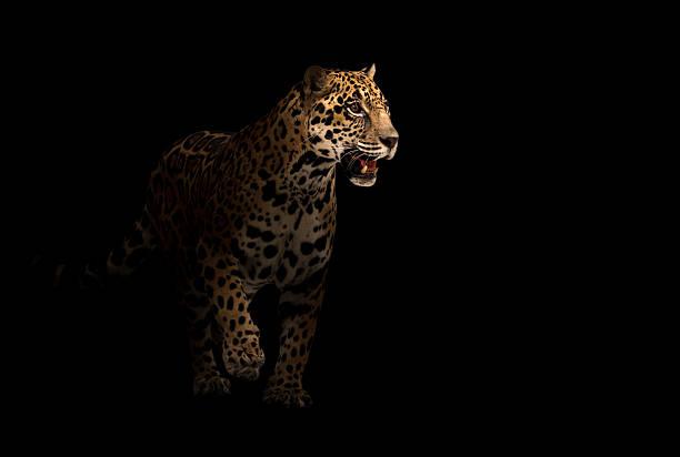 jaguar (panthera onca) dans l'obscurité - panthere noir photos et images de collection