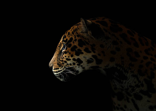 jaguar ( Panthera onca ) in the dark jaguar ( Panthera onca ) in the dark night jaguar cat stock pictures, royalty-free photos & images
