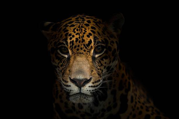 Jaguar in the dark picture id515243951?b=1&k=6&m=515243951&s=612x612&w=0&h=e5rrxvs5rgbveto54iit9nw66uqjd6qbpk9ib0yybfs=