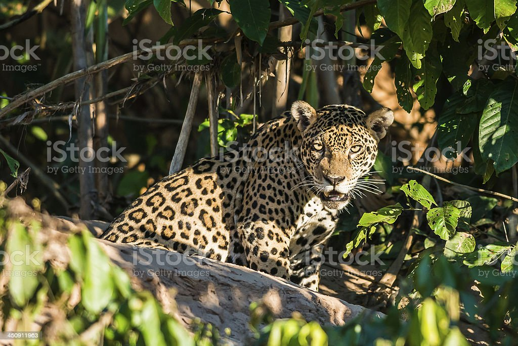 jaguar in the peruvian amazon jungle Madre de Dios Peru stock photo