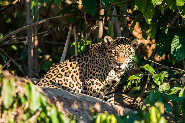 jaguar in the peruvian amazon jungle Madre de Dios Peru jaguar in the peruvian amazon jungle at Madre de Dios jaguar cat stock pictures, royalty-free photos & images