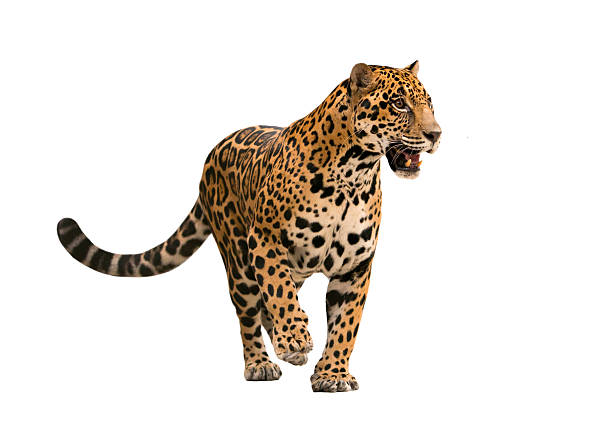 jaguar ( panthera onca ) isolated jaguar ( panthera onca ) isolated on white backgrond jaguar cat stock pictures, royalty-free photos & images