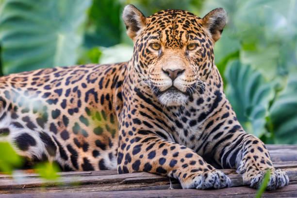 Jaguar looking at camera - Pantanal wetlands, Brazil Jaguar looking at camera - Pantanal wetlands, Brazil jaguar cat stock pictures, royalty-free photos & images