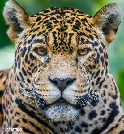 Jaguar looking at camera - Pantanal wetlands, Brazil