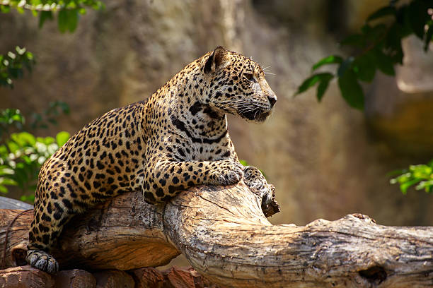 Jaguar on a branch. Tiger jaguar on a branch and looking something. jaguar cat stock pictures, royalty-free photos & images