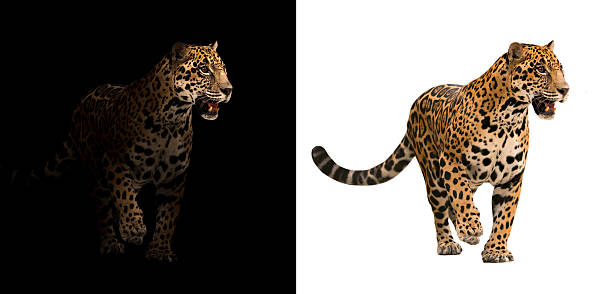 jaguar on black and white background jaguar on black background and jaguar on white background jaguar cat stock pictures, royalty-free photos & images