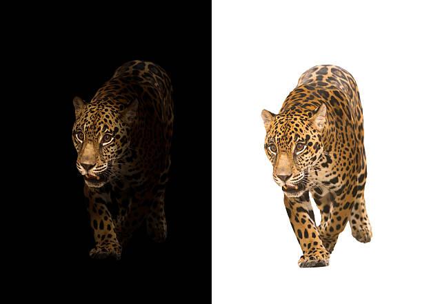 jaguar on black and white background - panthere noir photos et images de collection