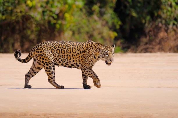 Jaguar, Panthera Onca, Female, Cuiaba River, Porto Jofre, Pantanal Matogrossense, Mato Grosso do Sul, Brazil stock photo