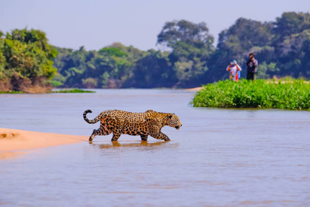 Jaguar, Panthera Onca, Female, observed by unrecognizable tourists crossing Cuiaba River, Pantanal, Brazil stock photo