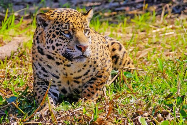 Jaguar, Panthera Onca, on a riverbank, Cuiaba River, Porto Jofre, Pantanal Matogrossense, Mato Grosso, Brazil stock photo