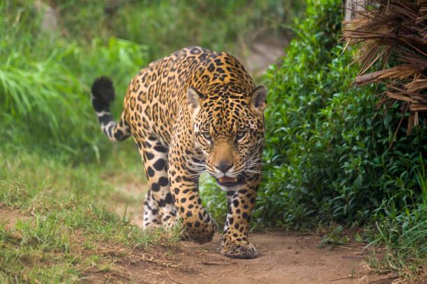 Jaguar Jaguar (panthera onca) in the amazon jaguar cat stock pictures, royalty-free photos & images