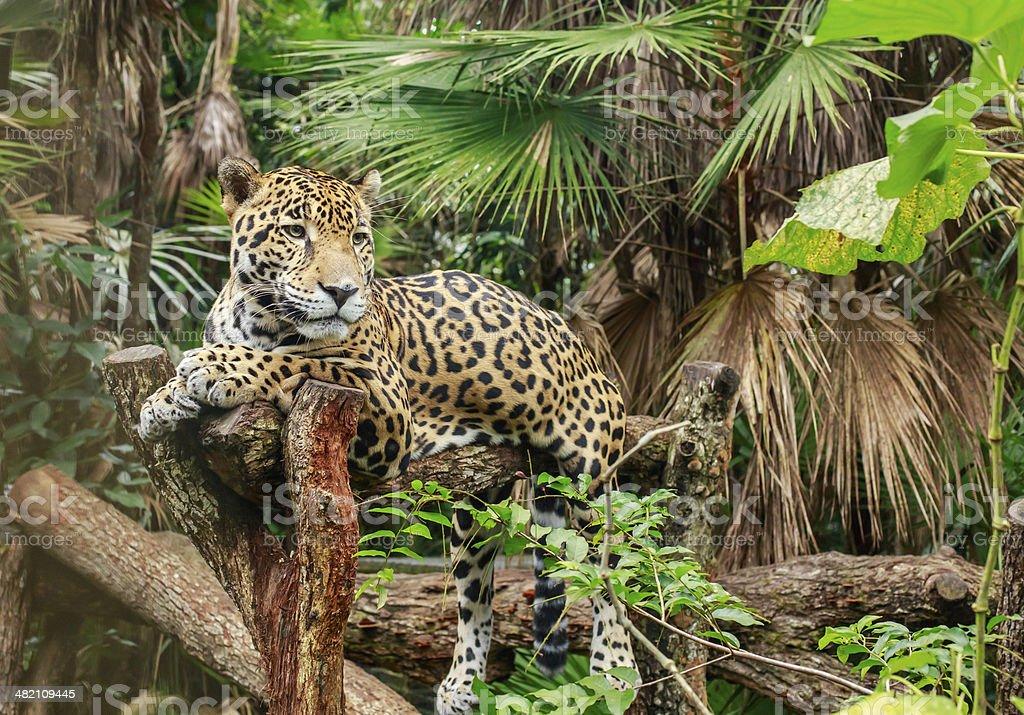 Jaguar - foto de stock