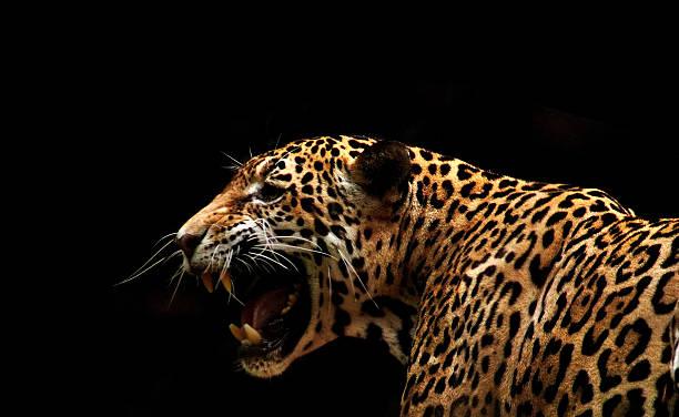 Jaguar Jaguar  jaguar cat stock pictures, royalty-free photos & images