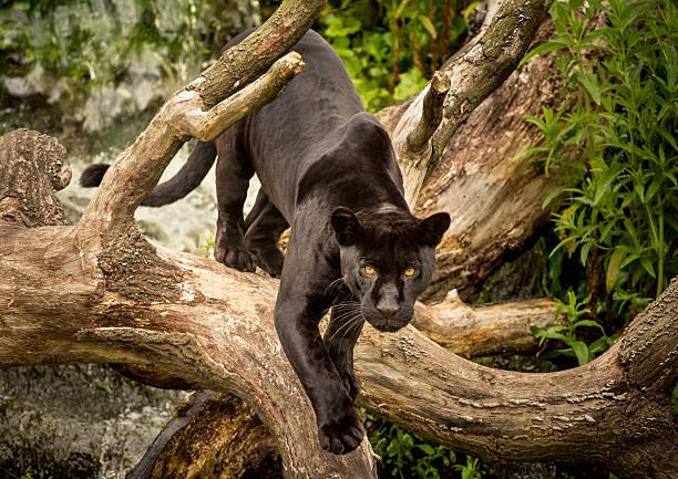 Jaguar A Jaguar prowling jaguar cat stock pictures, royalty-free photos & images