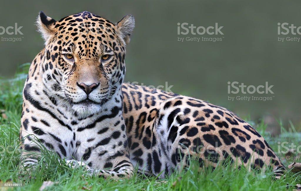 Jaguar (Panthera onca) - Photo