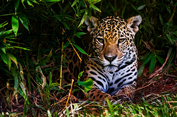 jaguar (panthera onca) - big cat stock pictures, royalty-free photos & images