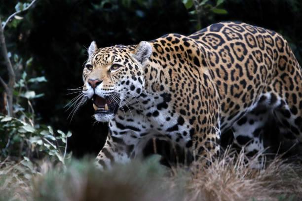 Jaguar - Photo