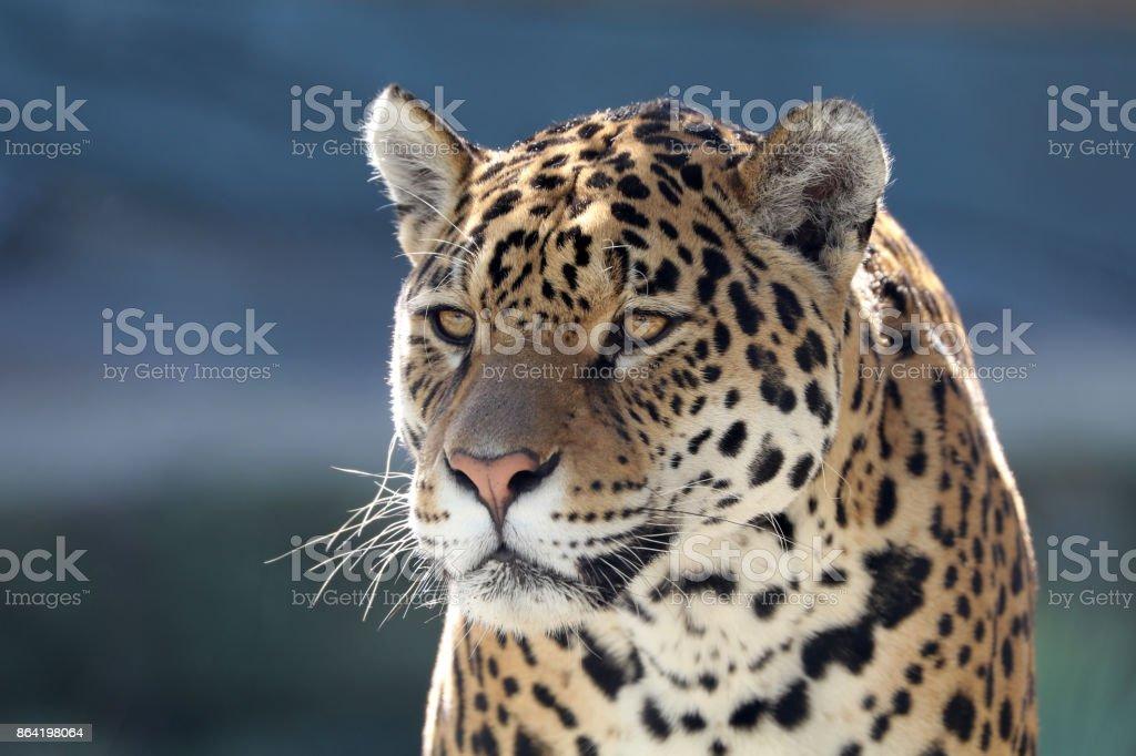 Jaguar royalty-free stock photo