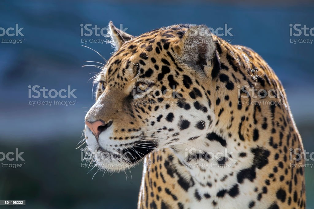 Jaguar royalty-free stock photo