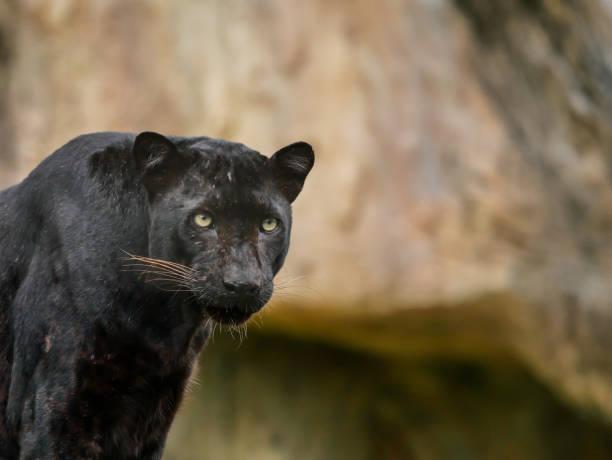 jaguar - schwarzer puma stock-fotos und bilder