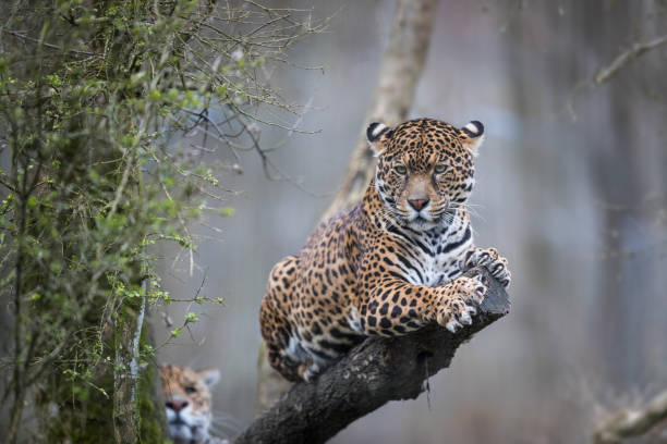 Jaguar bildbanksfoto