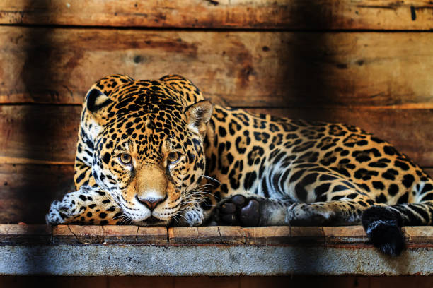 jaguar portrait - animals in captivity stock pictures, royalty-free photos & images