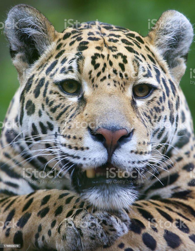 Jaguar Portrait royalty-free stock photo